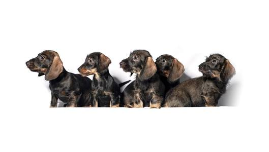 wirehair dachshunds.jpg