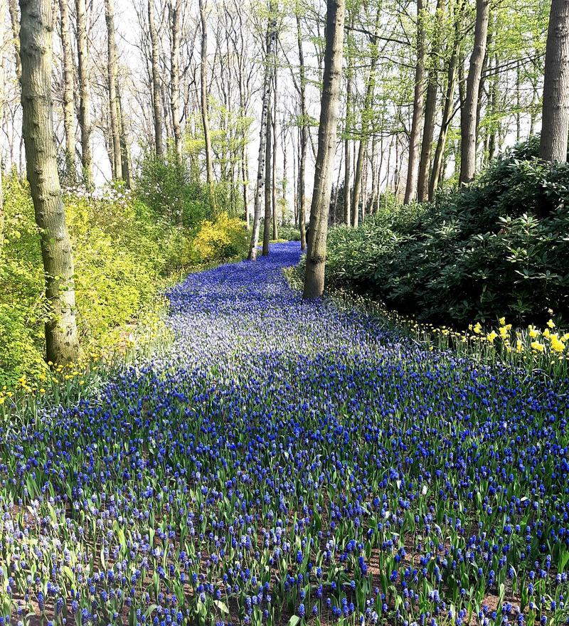 flower-path-keukenhof-garden-flower-park-keukenhof-beautiful-view-flower-path-keukenhof-garden-flower-park-keukenhof-154578433.jpg