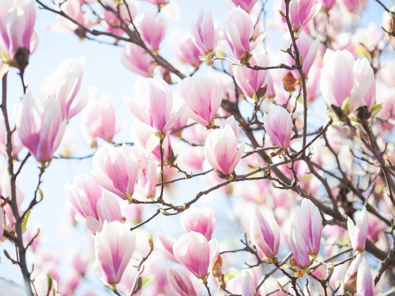 how-to-grow-magnolias-384233944-1280.jpg